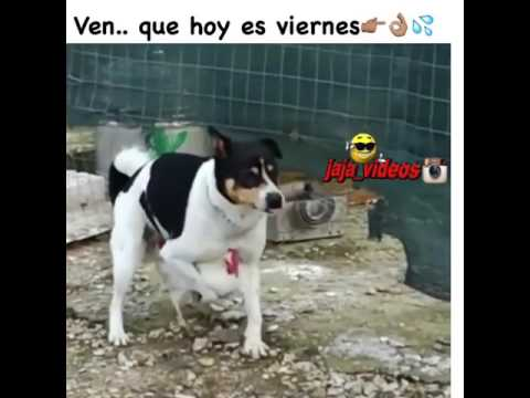 Video Perro viola gallina download in MP3, 3GP, MP4, WEBM, AVI, FLV January 2017
