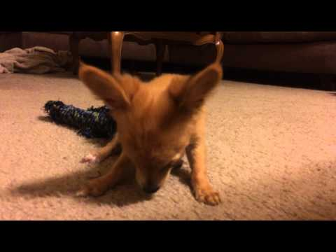 Chihuahua puppies love spinach