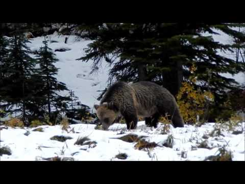 GRIZZLY BEAR IN BANFF NATIONAL PARK SEPTEMBER 15, 2015