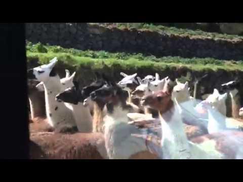 Lamas (видео)