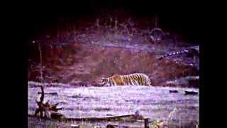 Pench India  City pictures : Active Tiger cub in Pench National Park Madhyapradesh India