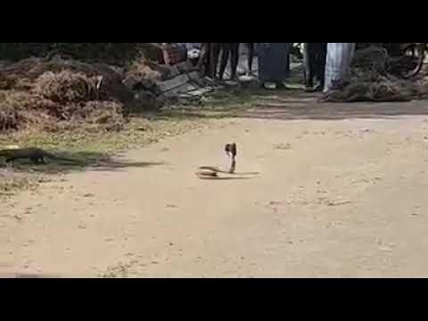 Snake Vs Mongoose Real fighting captured in Karnataka,