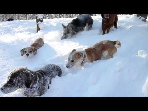 After The Polar Vortex: Doggies Frolicking In The Show at Camp Fido