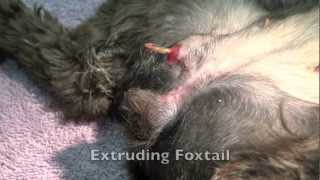 Canine Foxtail Removal