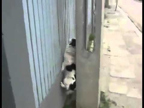 Dog Climbs The Wall