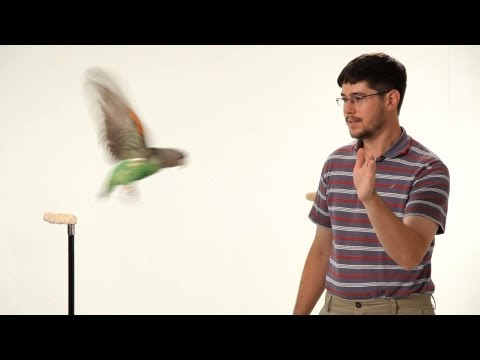 parrot - See what you can learn on the go with the new Howcast App for iPhone and iPad: http://bit.ly/11ZmFOu Watch more How to Train Your Parrot videos: http://www.h...