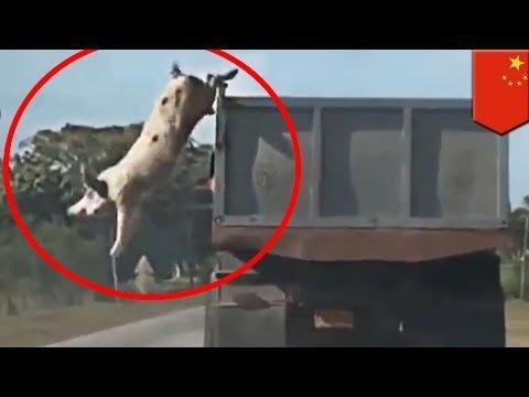 Świnie uciekają by nie zostać boczkiem