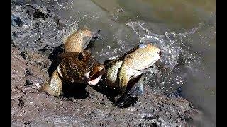 Video Cách săn bắt cá thòi lòi rất đơn giản - cả triệu 1 ngày. MP3, 3GP, MP4, WEBM, AVI, FLV Maret 2019