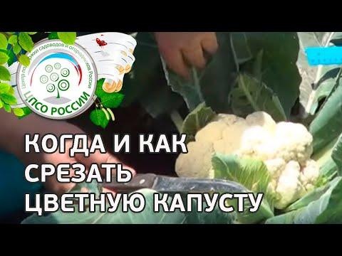 Сбор урожая цветной капусты. Какого размера должны быть соцветия цветной капусты.