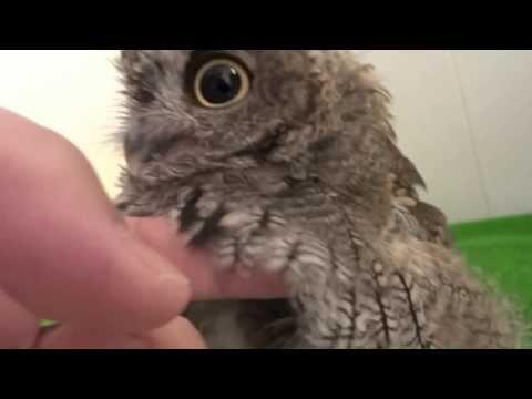 【小心會被萌爆!】看過貓頭鷹洗澡嗎?