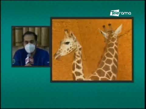Muere  jirafa en zoológico municipal de Loja