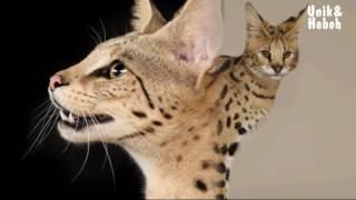 Video 10 Jenis Kucing Termahal di Dunia MP3, 3GP, MP4, WEBM, AVI, FLV Juni 2018