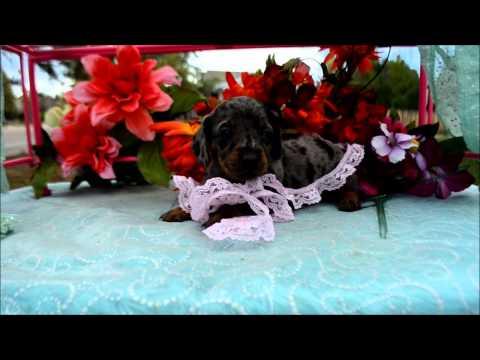 Daisy Female Silver Dapple Miniature Dachshund Puppy for sale