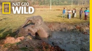 Locals Use Backhoe to Rescue Stranded Elephant | Nat Geo Wild by Nat Geo WILD