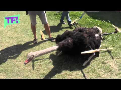 Artista hace volar al cadáver de un avestruz