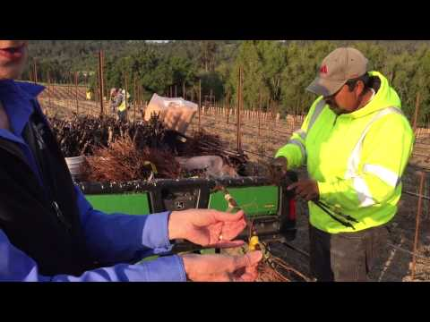 Prepping a Vineyard