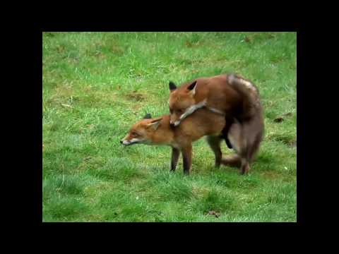 Have you ever seen foxes mating?  Incredible footage of the whole process here.