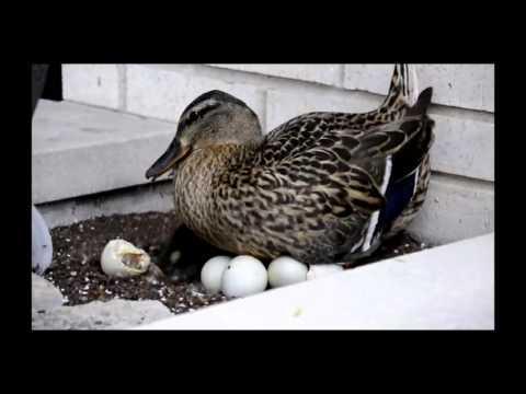 Video Ducks Hatching download in MP3, 3GP, MP4, WEBM, AVI, FLV January 2017