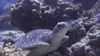 Lomaiviti Islands Fiji  city images : Naigani Island Resort Fiji - Dive Video HD