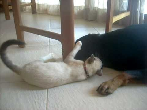 un rottweiler ed un gatto giocano tra di loro