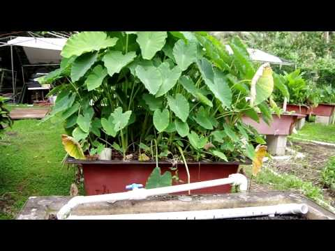 Olomana Gardens Aquaponics grows Taro in a Bio-Filter Bed
