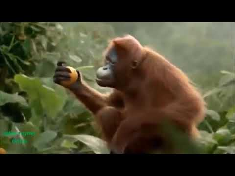 Video pilla palungi jarur chahe jaan chali jaye monkey song download in MP3, 3GP, MP4, WEBM, AVI, FLV January 2017