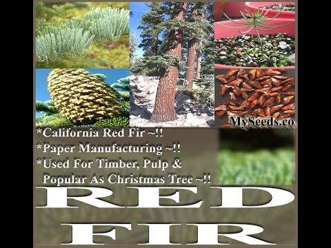 Red Fir, California Red Fir, Abies magnificaTree Seeds on  www.MySeeds.Co (видео)