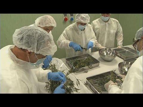 Ο ιταλικός στρατός καλλιεργεί κάνναβη για φαρμακευτική χρήση – science