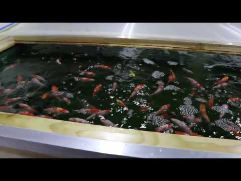 New pond Syndrome Part 3 - Nitrite Issues