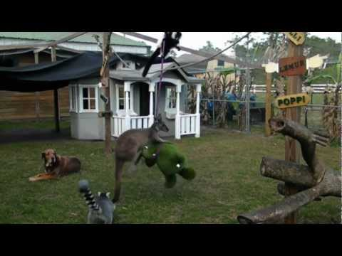 Känguru tar ut sin ilska på en stackars flodhäst