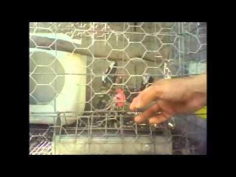 gallos miniatura Castilleja