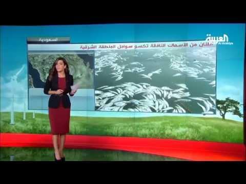 أسماك نافقة تكسو سواحل الشرقية في السعودية