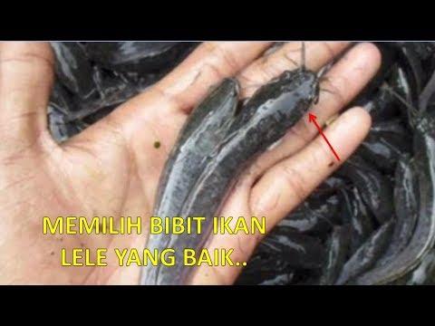 Cara Memilih Bibit Ikan Lele Yang Berkualitas Baik