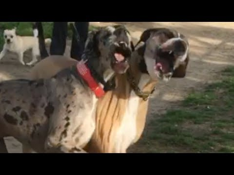 Video Great Dane Finally Finds a Bigger Dog to Play With download in MP3, 3GP, MP4, WEBM, AVI, FLV January 2017