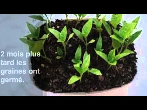 Faire pousser des graines de poivron