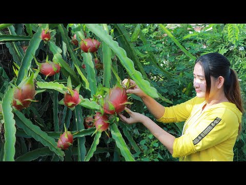 Yummy Dragon Fruit Dessert - Pick Dragon Fruit For Dessert - Cooking With Sros