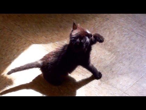 Un gattino adorabile lotta con la sua ombra