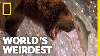 Video Salmon Soar without Wings | World's Weirdest MP3, 3GP, MP4, WEBM, AVI, FLV Agustus 2017