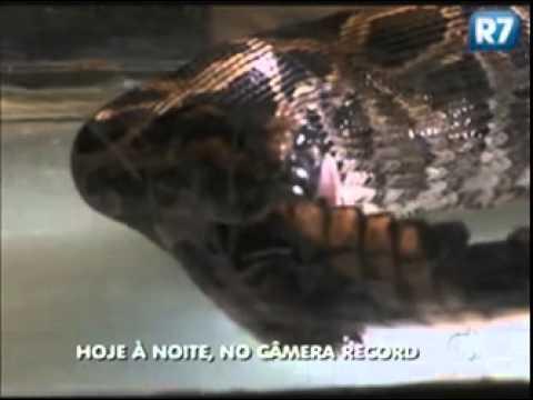 Conheça as cobras mais perigosas do mundo no Câmera Record desta sexta-feira (25)[ Rede Record ]
