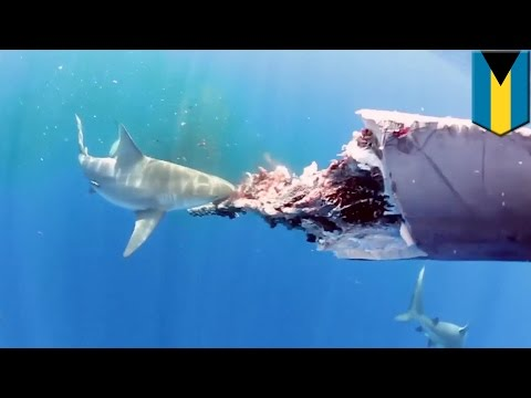 Shows - This video of sharks feeding on the carcass of a whale near the Bahamas was captured on an underwater camera by Christopher Crooks. Cooks said the dead whale had earlier washed up on the...