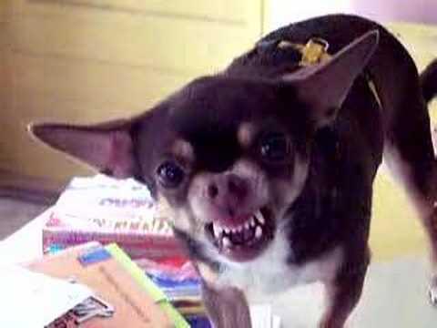 Bad Chihuahua