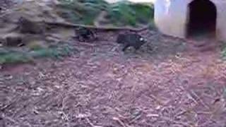 Taranna Australia  City pictures : Tasmanian Devils fighting in Devil Zoo, Tasmania Australia