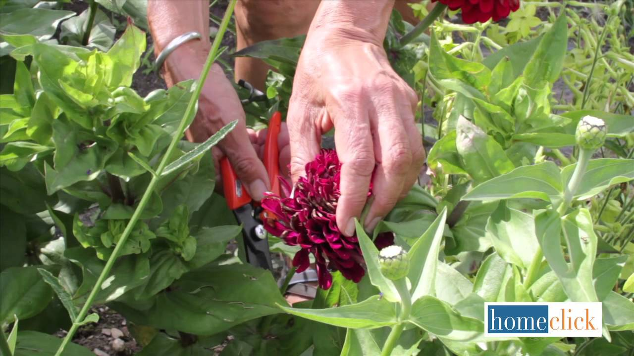 Deadheading Annuals - When and Why