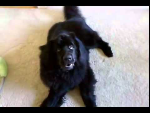PERFORMING - SUBSCRIBE now to Rumble Viral: http://bit.ly/RumbleViral Watch as Sebastien, a giant Newfoundland dog, argues with his owner when it comes to performing a few tricks. It actually sounds like...