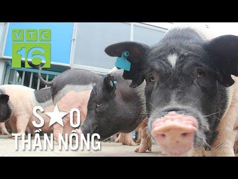 Cho lợn ăn giun quế, nghe nhạc: Khỏi lo dịch bệnh | VTC16 - Thời lượng: 15 phút.