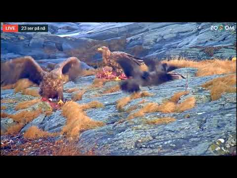 From the Bird Island - cam, Norway, White Tailed Eagles sharing a deer cadaver. Part II