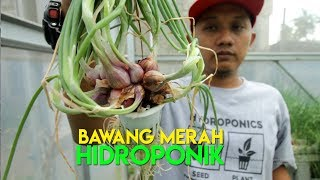 Video Cara Menanam Bawang Merah Hidroponik MP3, 3GP, MP4, WEBM, AVI, FLV Maret 2019