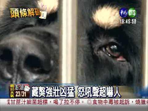 你知道全世界最兇猛的狗,是哪一種狗嗎?藏獒!!