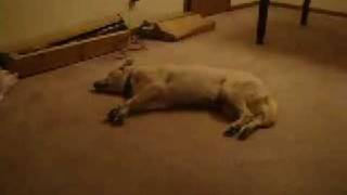 Cachorro sonhando