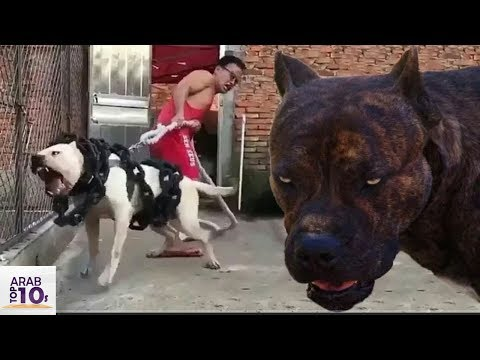 Download اخطر كلب بيتبول في العالم إياك ان تقترب منه